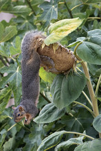 Fox Squirrel Hanging From Larg...