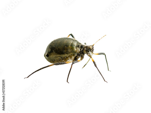Photo Aphis Fabae or Black Bean Aphid Parasite Insect Isolated on White Background