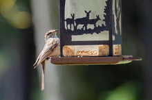 Sparrow Eating Seeds From A Wi...