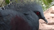 A  Victoria Crowned Pigeon Goura Victoria