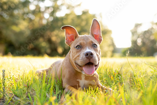 Pitbull Terrier puppy copper tan color laying in a grassy lawn at bright sunset Wallpaper Mural