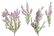 Four Violet Blossoming Heather...