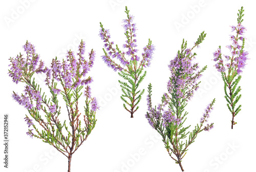 Fotografia four violet blossoming heather branches on white