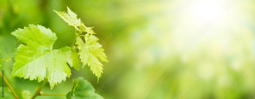 Grape vine in vineyard