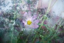 Pink Cosmea Flower On A Roarin...