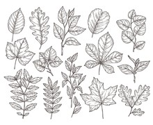 Hand Drawn Forest Leaves. Autumn Leaf Sketch, Nature Elements. Botanical Oak Branch, Fall Foliage And Plants Vector Illustration. Autumn Foliage Flora Drawing
