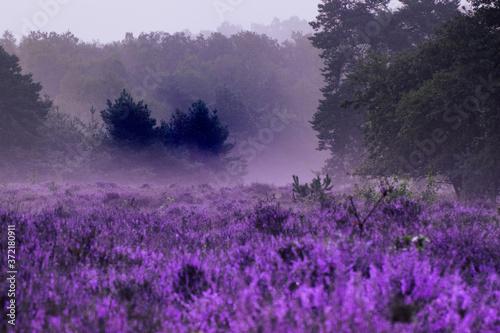 Fototapety, obrazy: Heide in Posbank im Morgengrauen mit Nebel