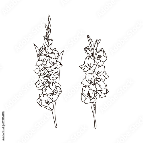 Contour drawing of two gladioli Fototapet