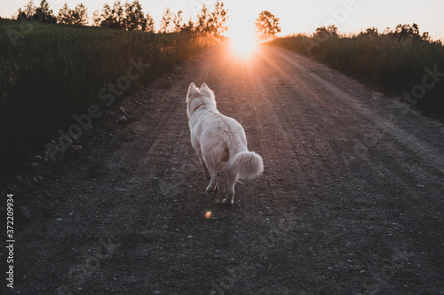Fototapeta white dog chasing sun