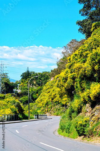 Fototapeta S-turn of a mountain road amongst shrubbery in full bloom on a bright sunny day