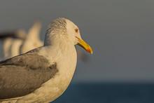The Caspian Gull (Larus Cachin...