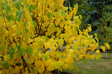 Autumnal Foliage Of Cercis Canadensis In October