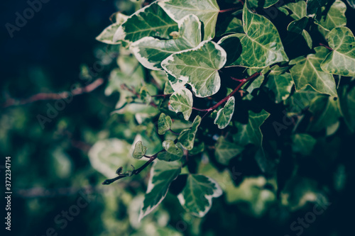 Ivy branch in garden with shadow Fototapet