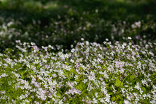 Background Of White Wildflower...