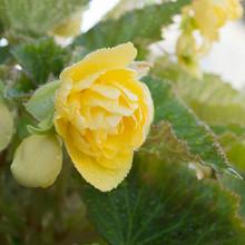 Balcony Plant - Yellow Begonia, Close-up, Bokeh.