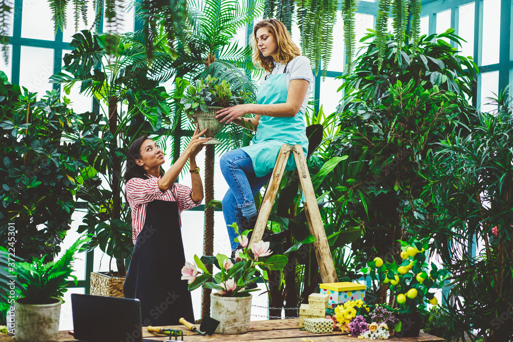 Fototapeta Female employee of botanic arangery collaborating taking care of plants and flowers holding pot,smiling woman florist sitting at ladder carrying flower bad from assistant in apron satisfied with job