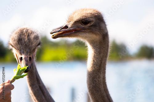 Fotografía funny ostrich on a family farm in the village in summer
