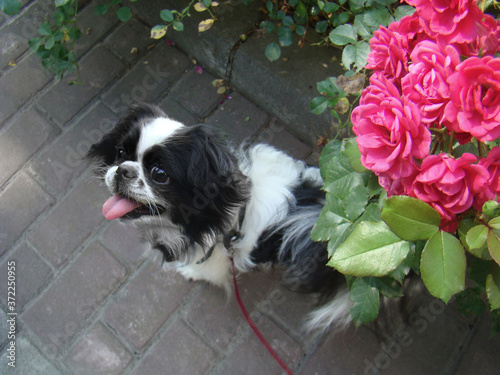Dog japanese chin walk in the park. Pink Roses in the garden. Canvas Print