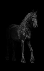 black horse walking in a black background nature wildlife animal