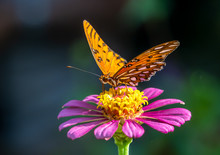 Close-up Of A Gulf Fritillary Butteryfly, Avgraulis Vanillae Nigrior,  On A Flower