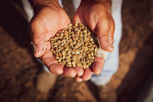 Closeup Of A Handful Of Dried Brazilian Coffee Beans During Production Harvest In A Small Family Coffee Plantation. Fair Trade Storytelling Concept.