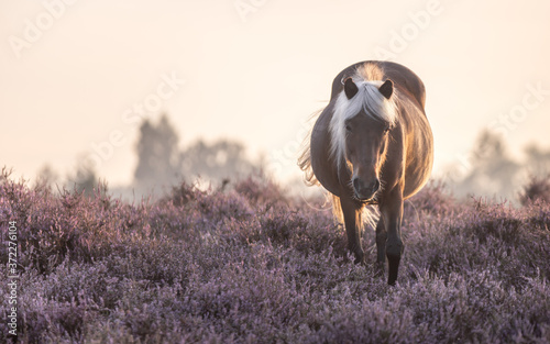 Leinwand Poster Icelandic horse as natural grazing in a nature protected area (Posbank, Veluwezoom, The Netherlands), walking towards the camera, In the purple flowers of the Common Heather