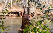 Young Elk In North Carolina