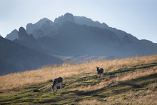 Donkey Grazing In Ciucas, Mountain Silhoette In The Background.