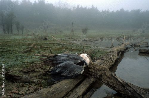 Photo Héron cendré, ardea cinerea, tué par un chasseur,