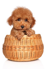 Toy Poodle Puppy In Basket On ...