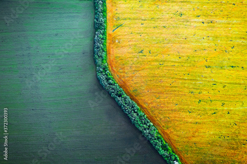 Obraz Aerial drone top view fields of rapeseed and wheat with lines from tractor tracks on sunny spring or summer day. Nature background, landscape photography - fototapety do salonu