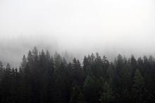 Pine Trees In The Fog Landscap...