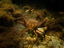A Closeup Picture Of Two Crabs...