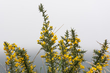 Flowering Yellow Gorse Bush Against A Grey Sky In New Zealand