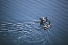 Two Ducks Swimming Away From C...