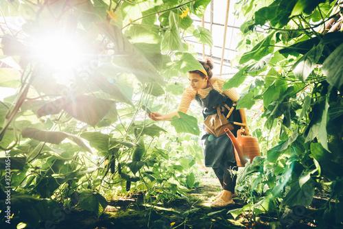 Young woman gardener during harvesting of fresh cucumbers at farm greenhouse Fototapet
