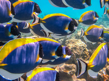 Shoal Of Powder Blue Tang Feeding. Powder Blue Surgeonfish. Beautiful Colorful Coral Reef And Tropical Fishes Underwater.