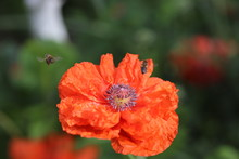 Wasps Fly In Summer Over Fluffy Red Wavy Poppy On Summer Day
