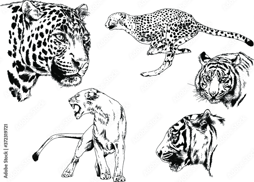 Fototapeta vector drawings sketches different predator , tigers lions cheetahs and leopards are drawn in ink by hand , objects with no background