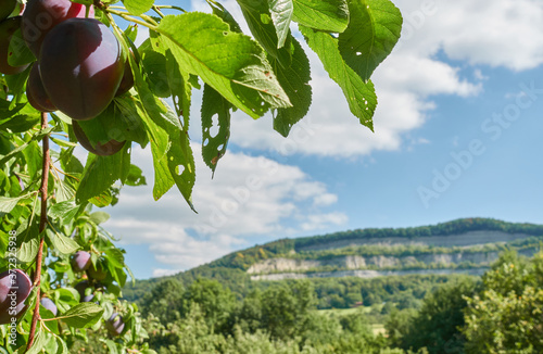 Fototapeta Several ripe plums (Prunus domestica) and green leaves with holes, hill in the background