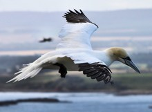 A View Of A Gannet Flying Over...