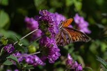 Gulf Fritillary Butterfly Feeding On Flowers In The Garden