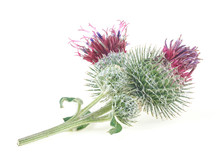 Medicinal Plant Of Burdock Isolated On A White Background. Prickly Heads Of Burdock Flowers. Medicinal Plant: Arctium.