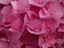 Pink Hortensia (Hydrangea Macr...