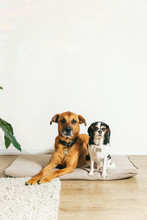 Big Brown Dog And Small Spotted Dog In Apartment