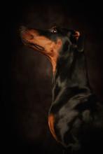 Beautiful Doberman Over Dark B...