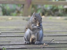 Male Eastern Gray Squirrel Wit...