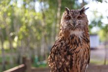 Brown Owl On The Background Of...