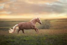 Palomino Horse Run Gallop In M...