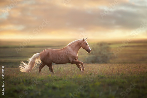 Stampa su Tela Palomino horse run gallop in meadow at sunset light